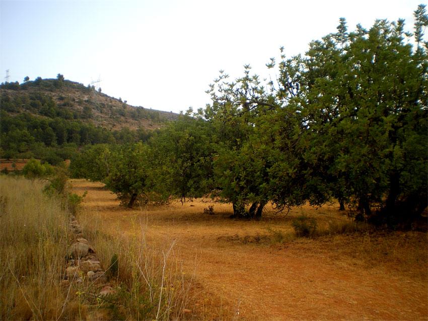 Garroferal cultivat a Borriol