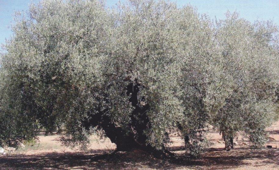 "Árbol típico de la variedad ""Farga"""