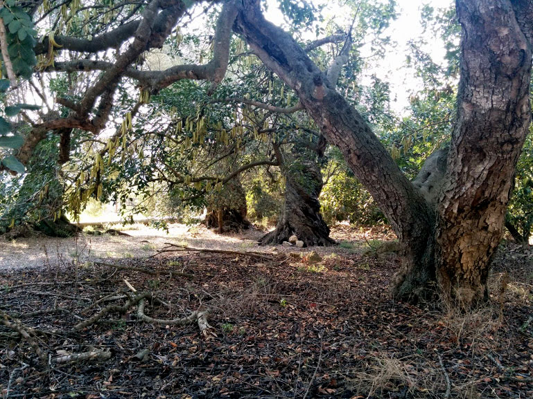 Fotos de les mateixes oliveres i una garrofera a l'última. Les mesures són: 5.70 x 2.5, 4.80 x 3.30, 3.70 x 3.50 i 3.50 x 3. Recordem que la primera xifra és la del perímetre i la segon la de l'altura de la soca
