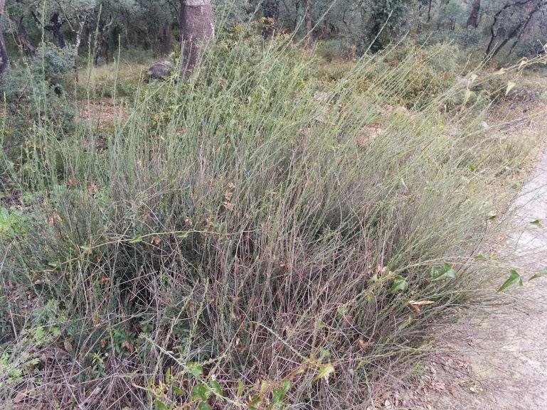 Fig. 15. Boja ramassera, planta per fer el ramàs d'agranar l'era